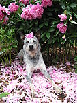 Peonies_and_Roo_03_June_2009.JPG